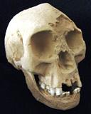 LB-1 Homo floresiensis