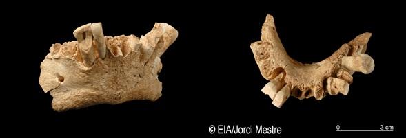 Mandíbula Sima del Elefante 1,2 Ma.