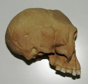 homo floresiensis cranium