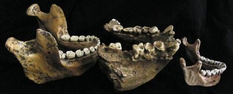 Comparación Nutcracker Man (Australopithecus boisei, izda) vs. Gigantophitecus blacki (centro) vs. Humano moderno (dcha)