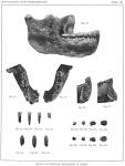 Homo_heidelbergensis_(Erstbeschreibung)_03