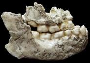 OH 13 Homo habilis