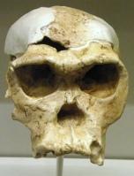OH 24 Homo habilis