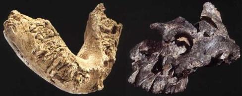 P-aethiopicus