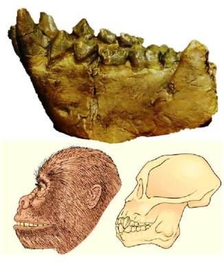 Arriba: mandíbula de Dryopithecus fontani (foto: Wikipedia). Abajo: ilustración artística (Saunders College Publishing).