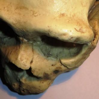 Cráneo 5 Sima de los Huesos, Atapuerca