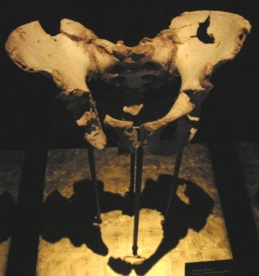 Pelvis Sima de los Huesos, Atapuerca