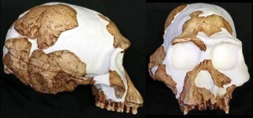 Stw 53 Homo gautengensis