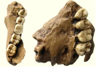 Paranthropus robustus TM1517 maxilar y mandibula