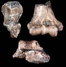 Paranthropus robustus TM1517 postcraneal