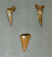 Dientes de tiburón. Museo Altamira