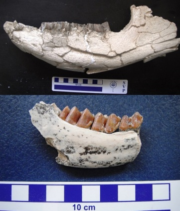 Somosaguas. Prosantorhinus-Tethytragus