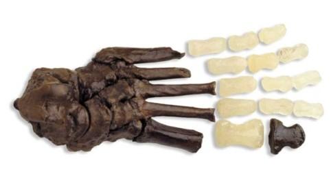 Reproducción OH 8, Homo habilis