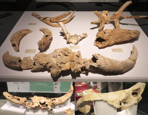 Restos de uro, bisonte, ciervo y rinoceronte. Cueva Des-Cubierta, Pinilla del Valle