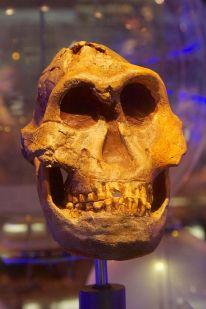 DNH 7 Paranthropus robustus
