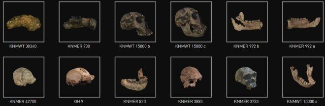Modelos 3D Homo ergaster