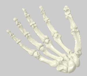Homo naledi 3D hand