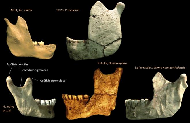 Rama mandibular de diferentes homininos
