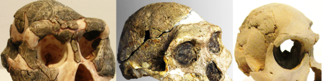 Supraorbital torus Australopitecines