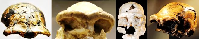 Supraorbital torus Homo ergaster