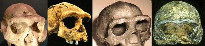 Supraorbital torus Homo erectus