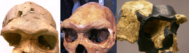 Supraorbital torus African Middle Pleistocene