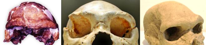 Supraorbital torus European Middle Pleistocene