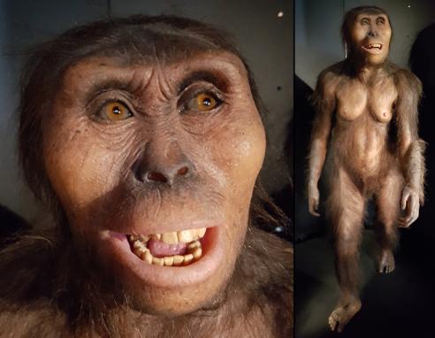 Australopithecus afarensis (MEH)