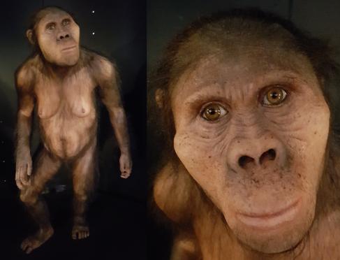 Australopithecus africanus (MEH)