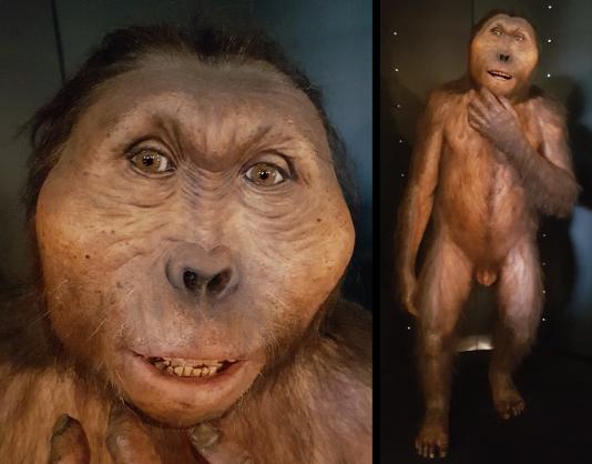 Paranthropus boisei (MEH)