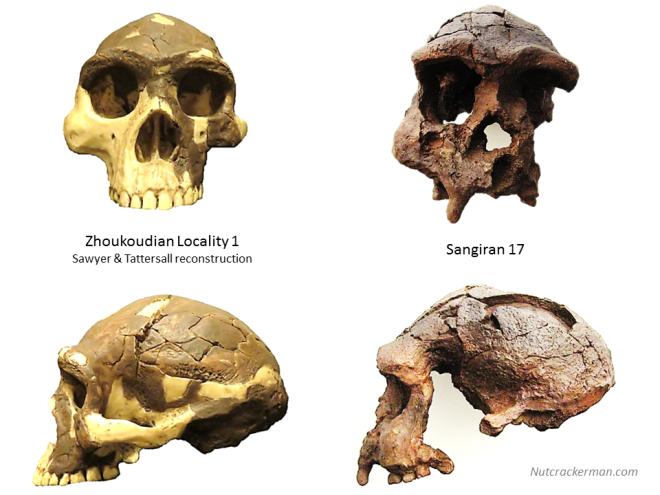 Homo erectus. Zhoukoudian vs. Java