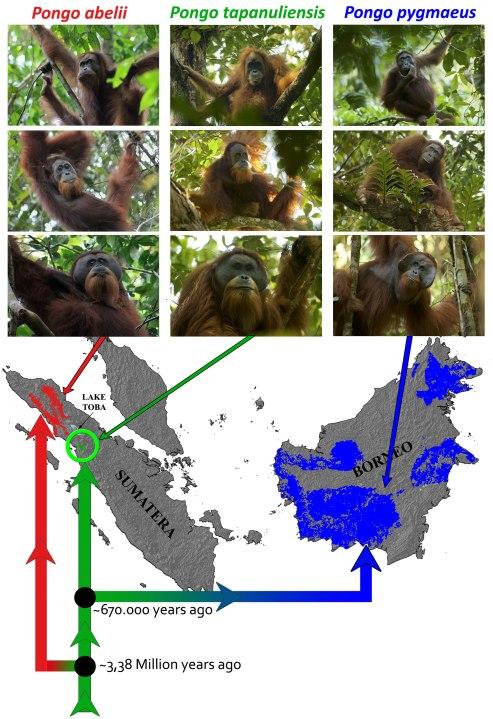 Las tres especies de orangutanes