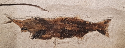 Mioplosus que probablemente murió por no poder tragarse a su presa. Ambos quedaron fosilizados.