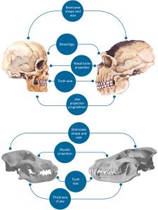 cráneos humano, neandertal, perro, lobo