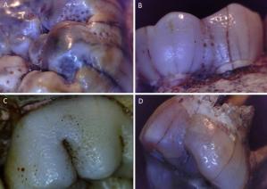 Hipoplasia Paranthropus robustus