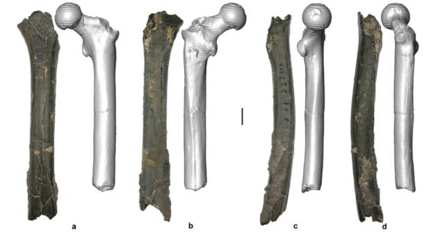 Sahelanthropus tchadensis may not have been a habitualbiped